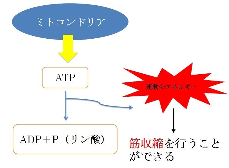 ATPの使われ方②