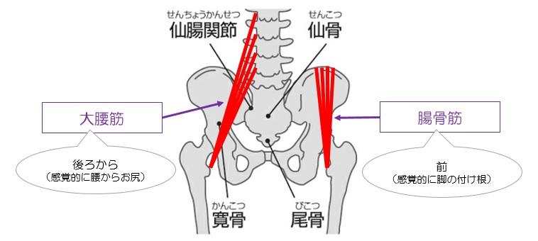 腸腰筋イメージ図