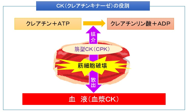 CKの役割